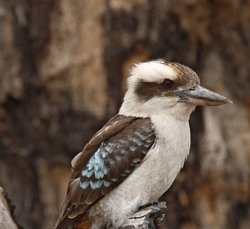 Laughing-Kookaburra2-ct280-280x360